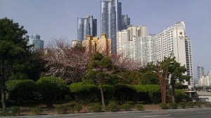 Zenith skyscrapers in the background and cherry blossoms starting to bloom near Dongbaek