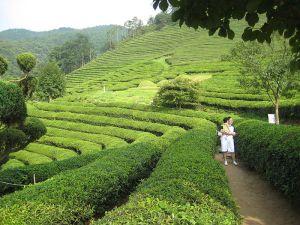Les champs de thé de la région de Boseong sont renommés mondialement
