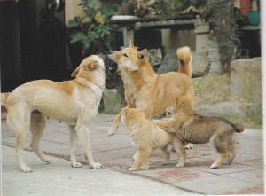 Jindo Dog family