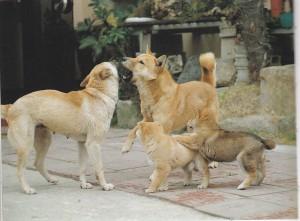 Jindo Dog family