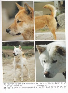 Jindo Dog Physical Appearance