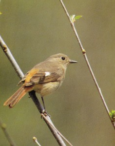Daurian Redstart female