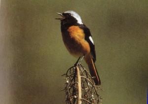 Daurian Redstart male