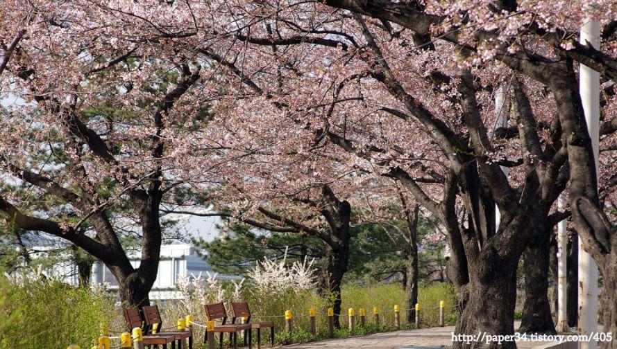 윤중로 벚꽃