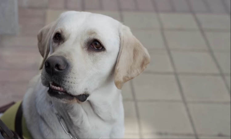 The guide dog in the Chinese film The Witness is quite cute and provides occasional comic relief.