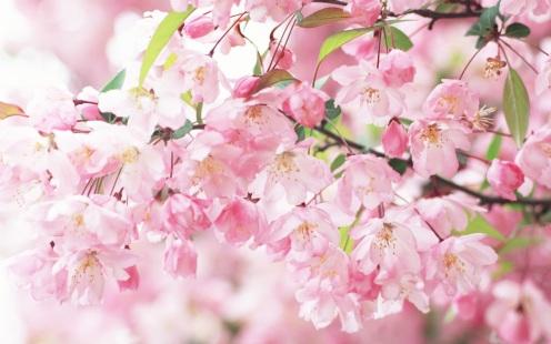Cherry-blossom-petals-pink-spring_1920x1200.jpg