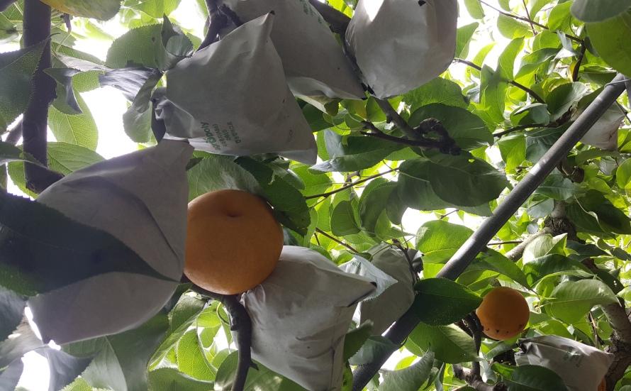 Pear Picking in거창군(Geochang)
